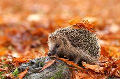Curiozitati despre arici si activitati pentru copii