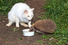 arici_mancand_mancarea_pisicii