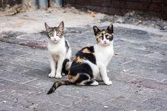 pisica_tricolora